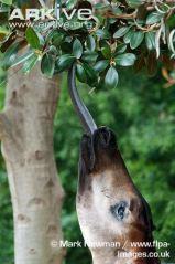 Photo3-okapi