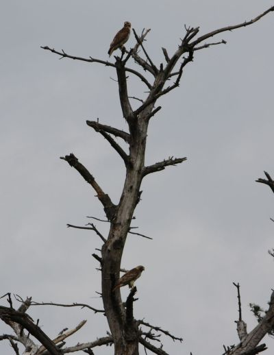 photo 3 hawk pair